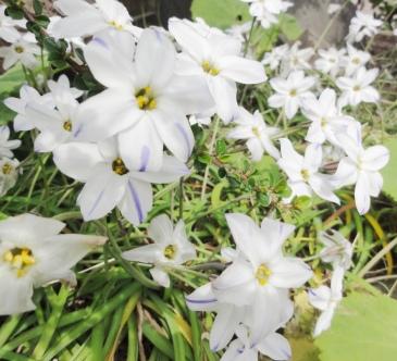 シニアヨガ 白い花