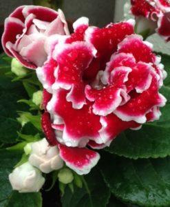 赤に白いふちどりの花
