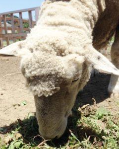 farm5、羊