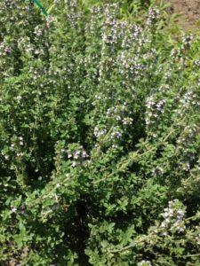 farm9、大根の花