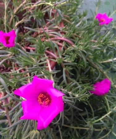 portulaca_grandiflora1