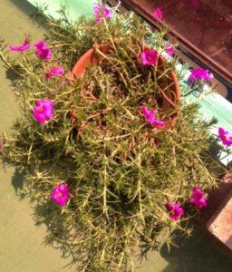 portulaca_grandiflora2