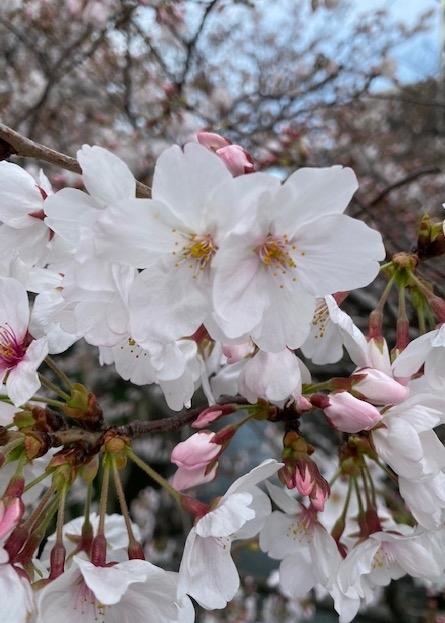 桜でほっこり@神田川沿い~新宿区・豊島区・文京区~