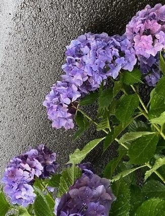 紫陽花(アジサイ)2