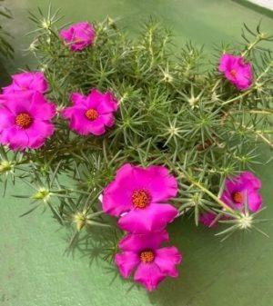 portulaca_grandiflora2020_1