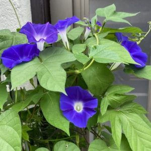 morning_glory2020_10