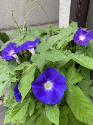 morning_glory2020_13