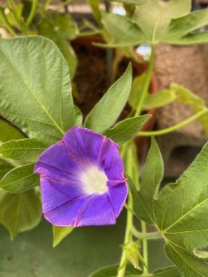 morning_glory2020_7