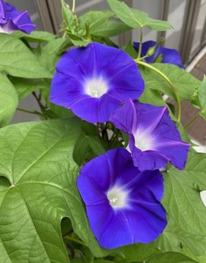 morning_glory2020_9