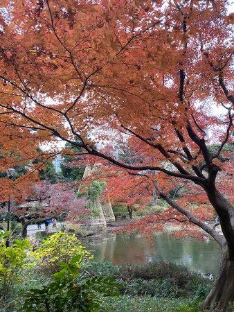 甘泉園公園の紅葉 イチョウ・モミジ・カエデ@新宿区