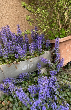 ajuga1_2021、シソ科、紫色の花