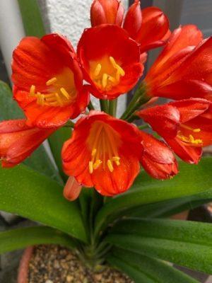 clivia1_2021、オレンジ色