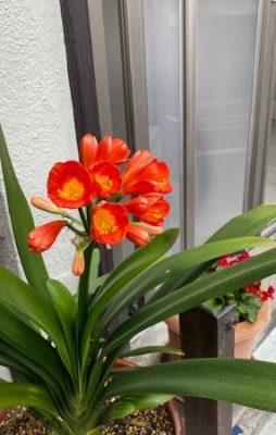 clivia5_2021、オレンジ色