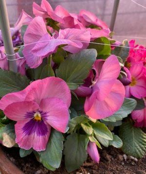 pansy1 _2021、紫色の花