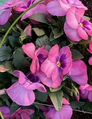 pansy2_2021、紫色の花