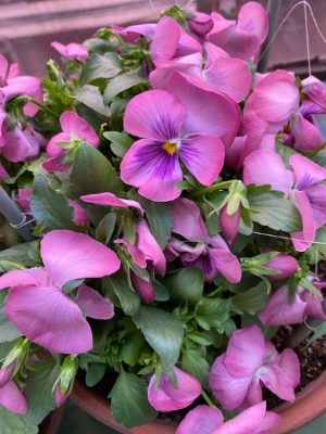 pansy3 _2021、紫色の花