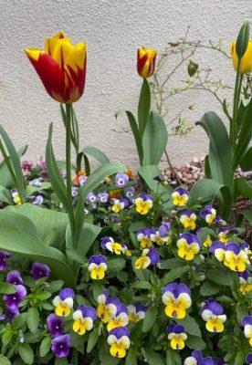 tulip1_2021、赤黄色ミックス、紫黄色のビオラ