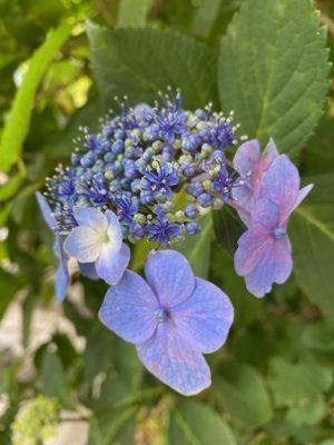 アジサイ2021の1、ガクアジサイ、紫色