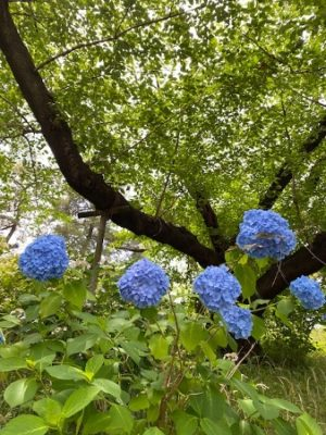 アジサイ2021の2、アナベルジャンボ、まん丸、ブルー色
