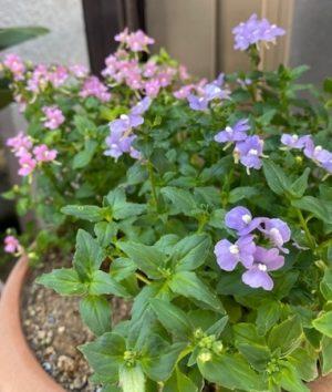 ネメシア3、ピンク色、紫色