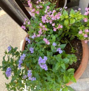 ネメシア4、ピンク色、紫色