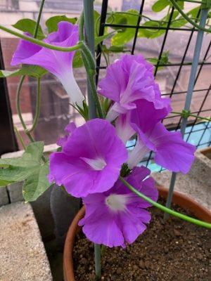 朝顔2021の1、紫色