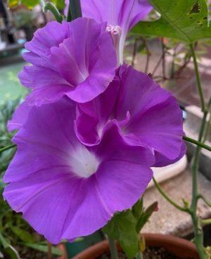 朝顔2021の2、紫色